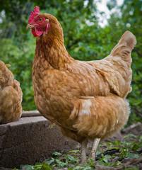Close up of red hen. Domesticated fowl Gallus gallus domesticus
