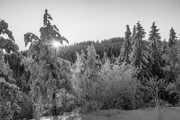 Rays of sun shine through bunches of firs