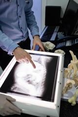 Vets examining x-ray of animal