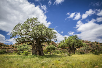 Baobab tree in Mapungubwe National park, South Africa