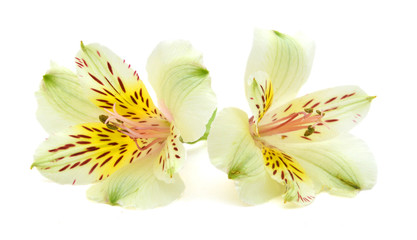 alstroemeria yellow flowers isolated on white