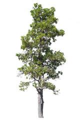 long big tree isolate on white  background.