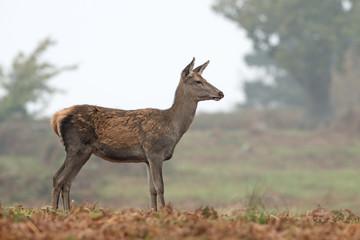 Red Deer Hind (Cervus elaphus)/Red Deer Hind at the edge of a forest on a misty morning