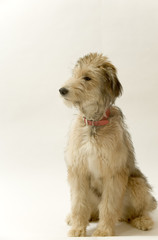 Cute young Lurcher puppy dog bitch on white background