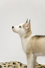 A very cute young Husky dog puppy with piercing blue eyes looks upwards
