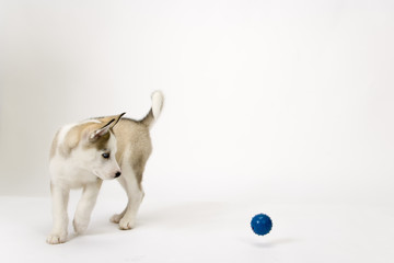 Fluffy young Husky dog puppy watches a bouncing ball