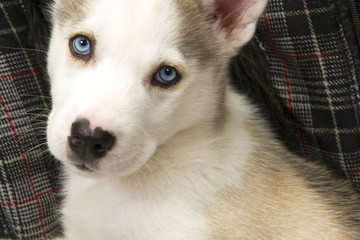 A very cute young Husky dog puppy with piercing blue eyes looks at the camera.