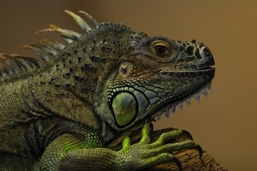iguana lizard colorful green brown grey imbricated