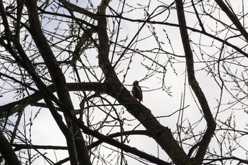 Birds in the tree during winter. Slovakia