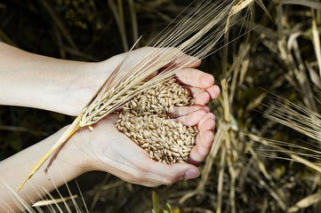 Harvest, close up of  child hands holding wheat grains - agriculture, farming or prosperity concept