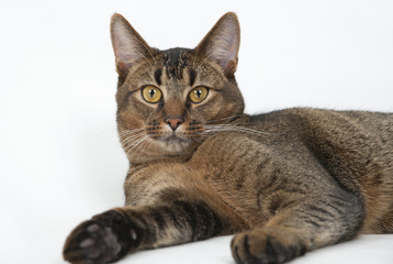 Cute wide-eyed part Abyssinian young male cat watching curiously