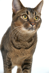Cute wide-eyed part Abyssinian young male cat walking purposefully past the camera