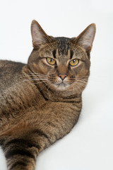 Cute wide-eyed part Abyssinian young male cat relaxing