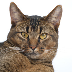 Stunning amber eyes of a part Abyssinian young male cat looking at the camera