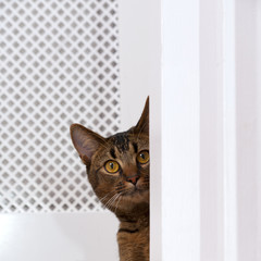 Cute playful wide-eyed part Abyssinian young male cat watches curiously