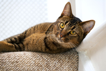 Cute playful wide-eyed part Abyssinian young male cat watches curiously lies on the top stair watching