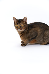 Cute playful wide-eyed part Abyssinian young male cat crouching on white seamless