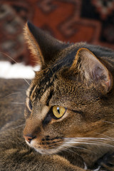 Cute playful wide-eyed part Abyssinian young male cat watching