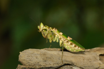 Image of Flower mantis(Creobroter gemmatus) on nature background. Insect Animal