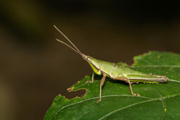 Green-blul-legged Slant-faced Grasshopper / Pseudomorphacris hollisi. Insect. Animal