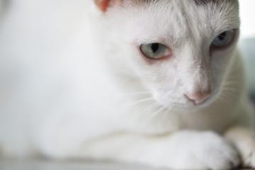 Cute funny thai cat looking
