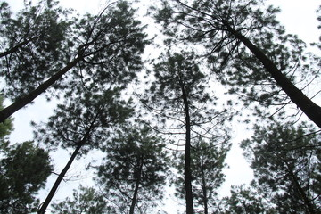 pine trees seen from below
