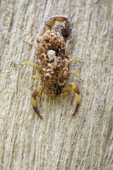 Image of scorpion with baby on back. Insect. Animal