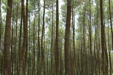 scenery in the pine forest.