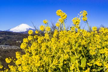 Fotomurales - 二宮・吾妻山公園より富士山と菜の花