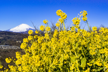 Fototapete - 二宮・吾妻山公園より富士山と菜の花