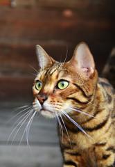Bengal cat. Cat - leopard