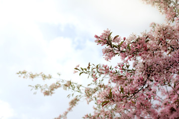 beautiful spring/ flowering of the pink cherry blossom against the sky