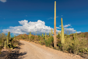 Saguaros near road in Sonoran Desert, Phoenix, Arizona.