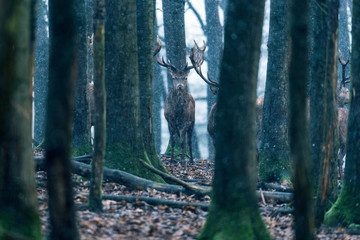 Red deer stag between tree trunks in winter forest with snowfall.