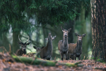 Small group of red deer females in pine forest.