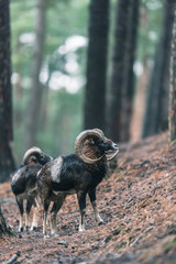 Mouflon males on slope in hilly pine forest.
