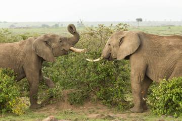 two young elephants play on the grasslands of the Maasai Mara, Kenya
