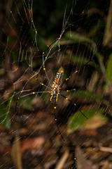 Two Giant Wood Spiders (Nephila pilipes jalorensis), male and female, on its web