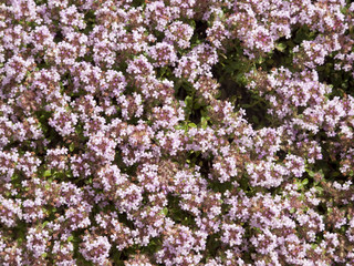 Thyme herb flowers background
