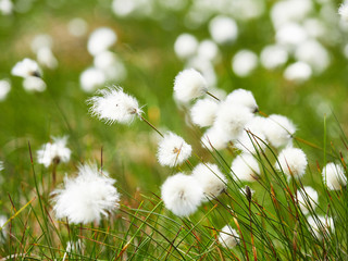 A close up of cotton grass flowers in the English countryside, UK.