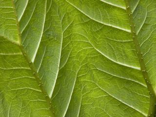 Underside of a Gunnera leaf texture