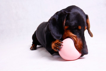 A dachshund dog playing with a Pink ball