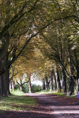 First signs of autumn colour on an avenue of trees by a country lane near Chavenage, Gloucestershire, UK