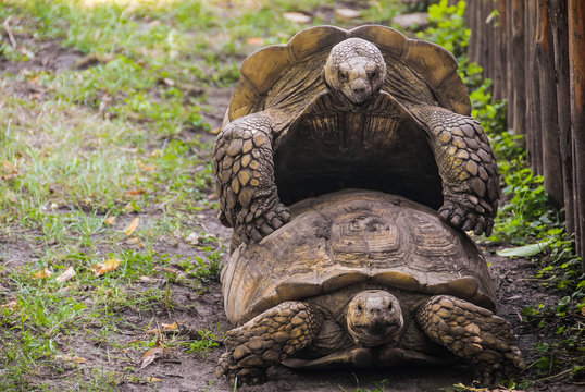 A couple of big turtles are slowly mating on a green grass