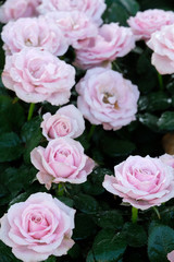 Pink roses blossom in spring nature background, flowers valentine's day