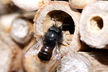Wildbiene im Frühling