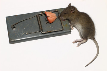 A rat in a mousetrap on a white background