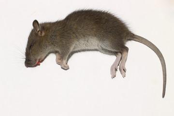 A rat in a mousetrap