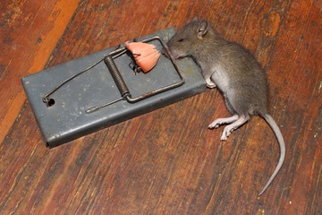 A rat in a mousetrap