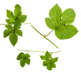 green hop leaves. Isolated on white background. set, group, collection